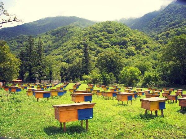 apiary bee